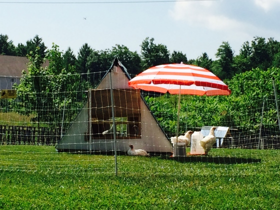 A Mini Chicken Resort.<3…
