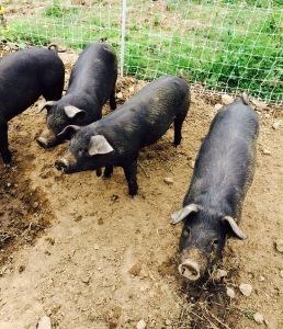 2015 pigs